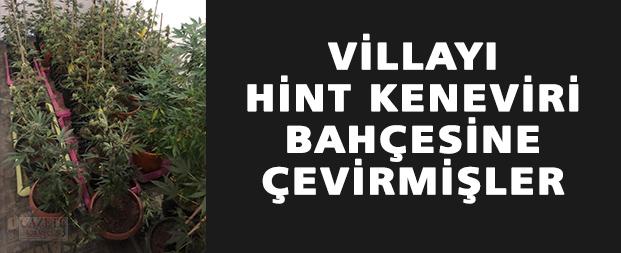 Villayı Hint keneviri bahçesine çevirmişler